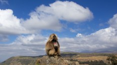 Singe gélada, parc national du Simien, nord de l'Éthiopie.