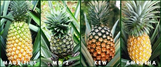 Terdapat banyak jenis, tetapi masa yang paling lama untuk memalukan nanas pada pelbagai Mauritius. Ia mesti diambil untuk simpanan jangka panjang.