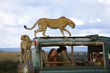 """Parc national de Masai Mara, au Kenya - """"Des guépards ont sauté sur le véhicule de ces touristes. J'aime le contraste entre l'amusement du photographe et l'inquiétude de la femme qui guette les mouvements du guépard. """"— Yanai Bonneh"""