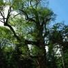 長万部・大峯のぶなの巨木