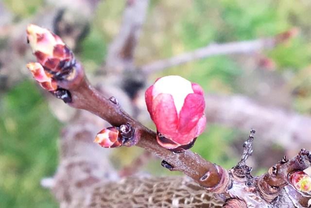Marillenblüte in der Wachau. Die weißen Spitzen spreizen die Kelchblätter auseinander