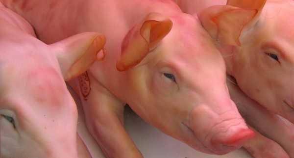 To market, to market, to eat a fat pig.