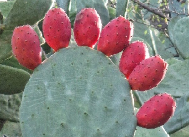 How to prep prickly pears.