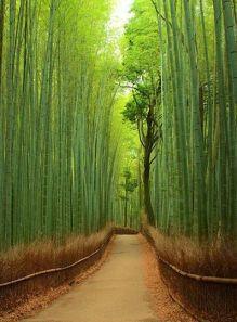 Bosque de Bambú -Kyoto |ASIA|