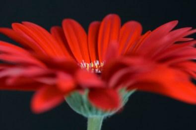 gerbera - image by Deb Fletcher