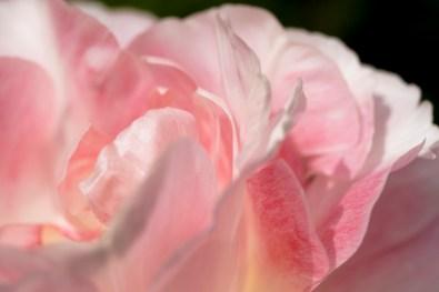 tulip - image by Deb Fletcher