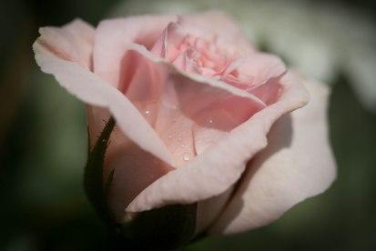 rose - image by Deb Fletcher