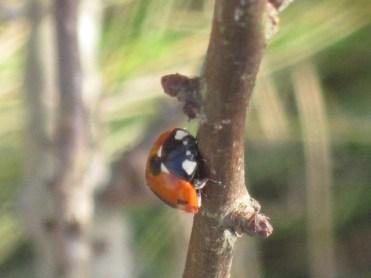ladybird (3)
