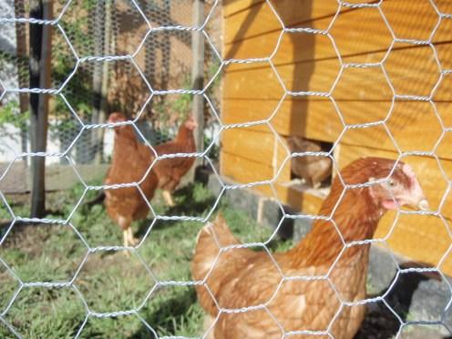 my 4 hens