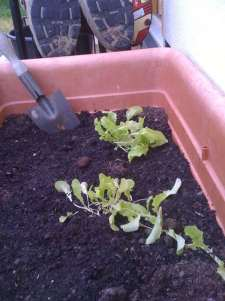 lettuce-seedlings-transplanted