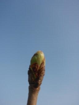 horse-chestnut-bud