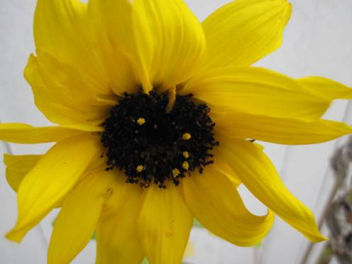 helianthus-sunflower-2