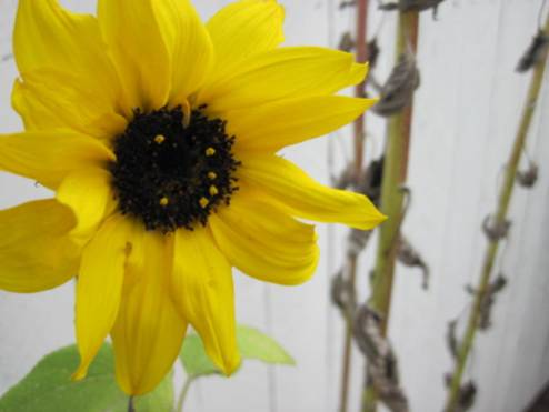 helianthus-sunflower-4