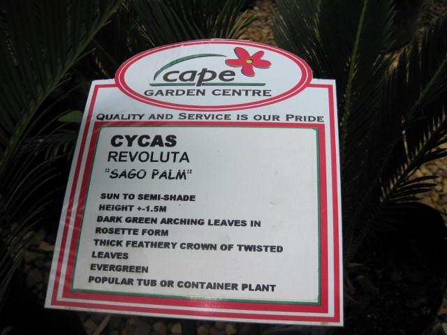 cycas-revoluta-1-640x480