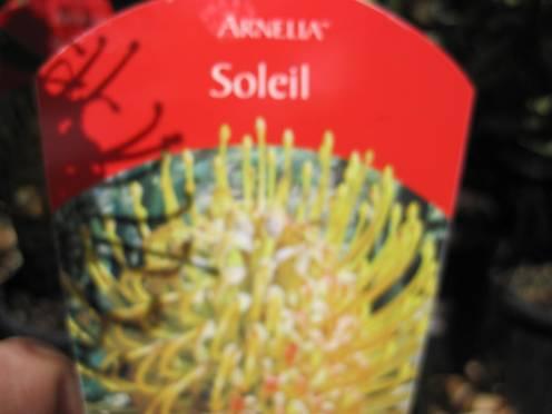 leucospermum-cordifolium-x-glabrum