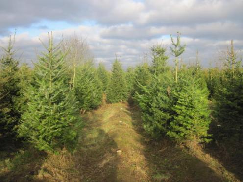 christmas-tree-farm-10