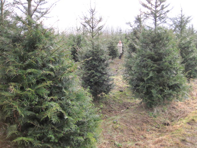 christmas-tree-farm-15
