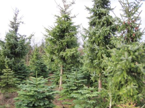 christmas-tree-farm-21