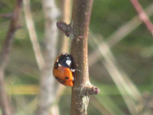 ladybird-2