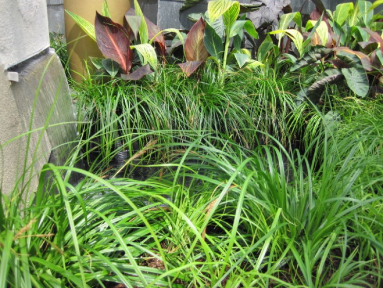 carex evergreen plant