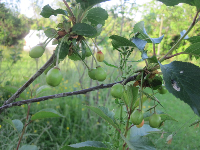 fruit trees 006