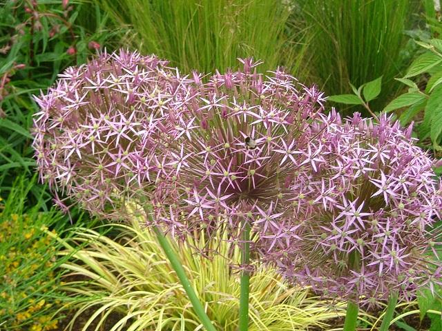 allium rosenbachanium
