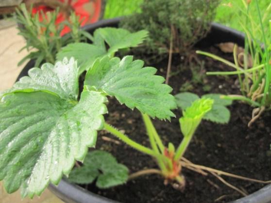 kitchen garden planters (2)