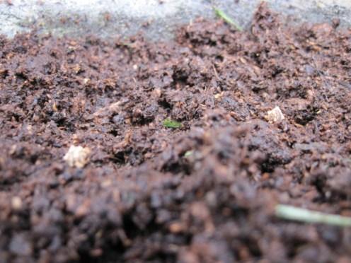beetroot seeds (2)