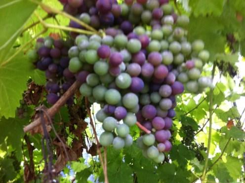 grapes (3)