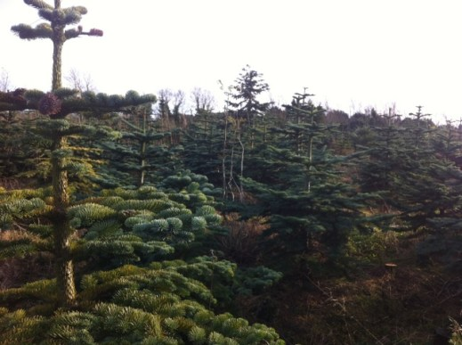 christmas tree farm (1)