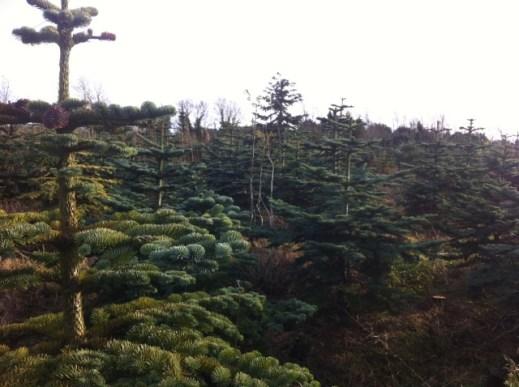 christmas tree farm (1)