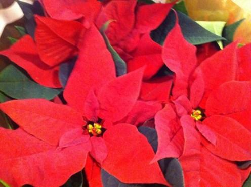irish plants christmas (3)
