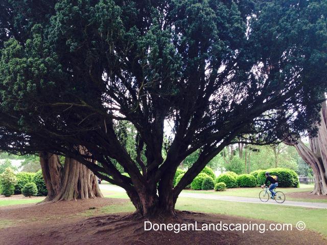 phoenix park trees (4)