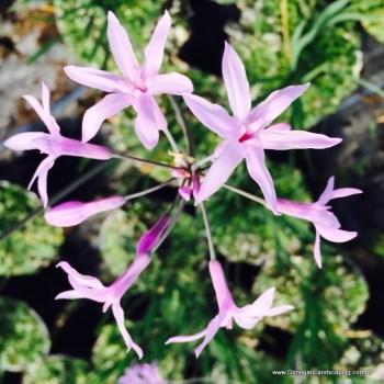 Tuibaghia violacea