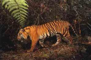 Cerita Hewan Fabel Harimau Dan Tapir