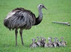 Cerita Pendek Hewan Anak Burung Unta Dan Ibunya