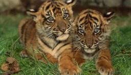 Cerita Tentang Hewan Anak Harimau dan Celoteh Seekor Kera