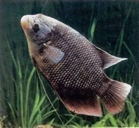 cerita rakyat fabel perjuangan ikan gurame