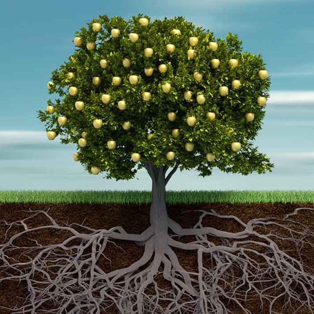 pohon jarum