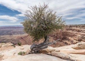 20170409DC Twisted Tree, Utah 2017