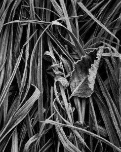 94157 Leaf, Grass, Frost, WA 1994