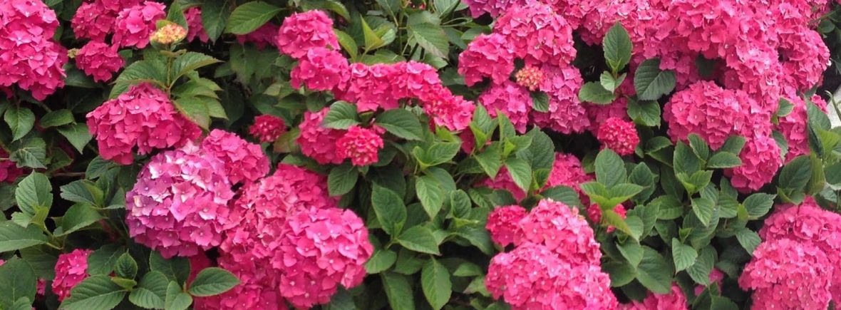 Donna A Heckler photograph of beautiful pink hydrangeas