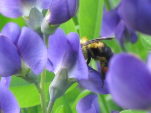 Early Spring Blooming Plants to Attract Bumble Bees