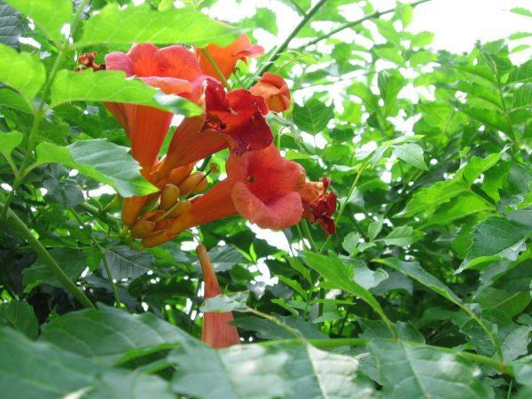 Trumpet Creeper (Campsis radicans) in Donna's Garden