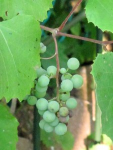 Indigenous Concord grapes growing in my garden.