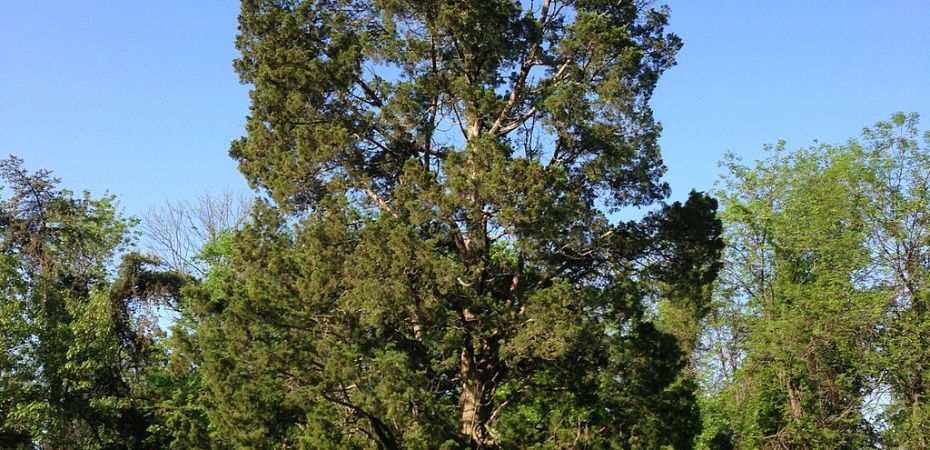 Eastern Red Cedar (juniperus virginiana). Photo by Famartin on Wikimedia Commons.