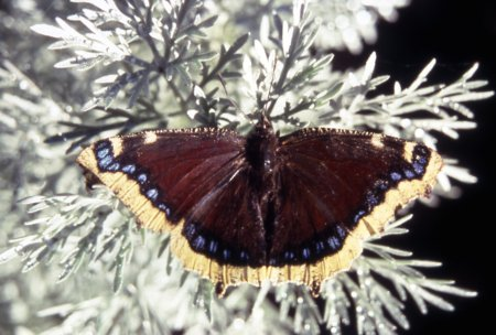 Male Morning Cloak butterfly (Nymphalis antiopa);NPS, Richard Lund,2002