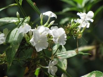 Summer Phlox (Phlox Panculata, David). Photo by Donna L. Long.
