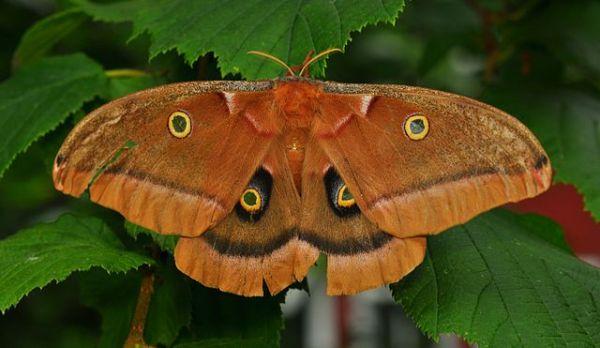 Polyphemus_Moth_(Antheraea_polyphemus)