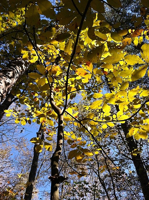 Hickory tree leaves in autumn